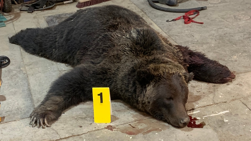 Grizzly bear killed in suspected poaching incident