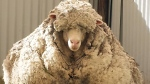Chris the sheep made headlines after being found wandering with masses of wool sagging from its frame. (AFP)