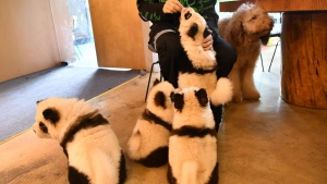 A Chinese cafe is under fire for painting dogs as pandas to stand out in the competitive pet cafe market. (CNN via Zhang Lang/China News Service/VCG via Getty Images)