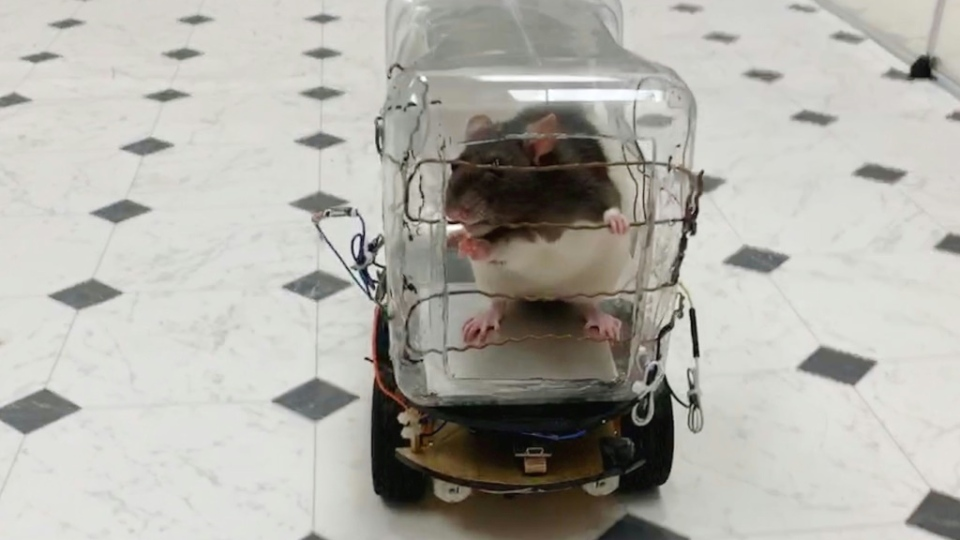 Scientists have reported successfully training rodents to drive tiny cars in exchange for tasty bits of Froot Loops cereal, and found that learning the task lowered their stress levels. (AFP)