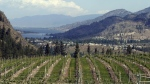 Vineyard overlooking the Okanagan Valley. (Jacques Boissinot / THE CANADIAN PRESS)