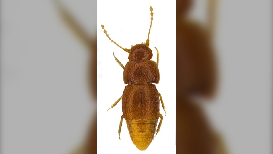 The honey-coloured insect, measuring less than one millimetre, was discovered in the Kenyan capital Nairobi in the 1960s. (AFP)