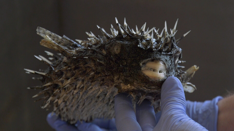 spotted porcupine puffer fish