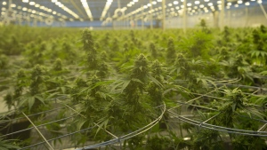 Cannabis plants are seen during a tour of a Hexo Corp. production facility, Thursday, October 11, 2018 in Masson Angers, Quebec. THE CANADIAN PRESS/Adrian Wyld
