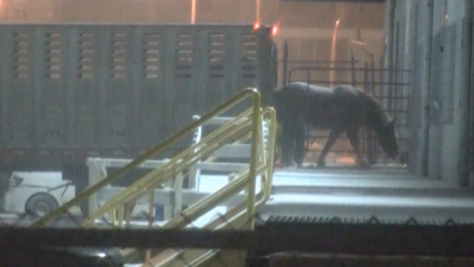 The Canadian Food Inspection Agency is being sued over the practice of shipping horses overseas so they can be slaughtered for meat.