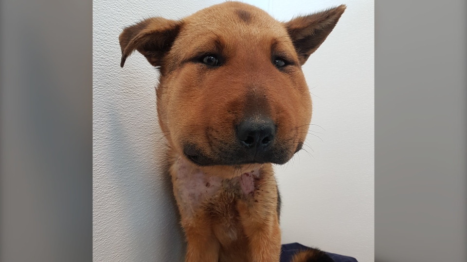 Hope's head was severely swollen due to infection and her neck wound was filled with maggots, according to the BC SPCA. (BC SPCA)
