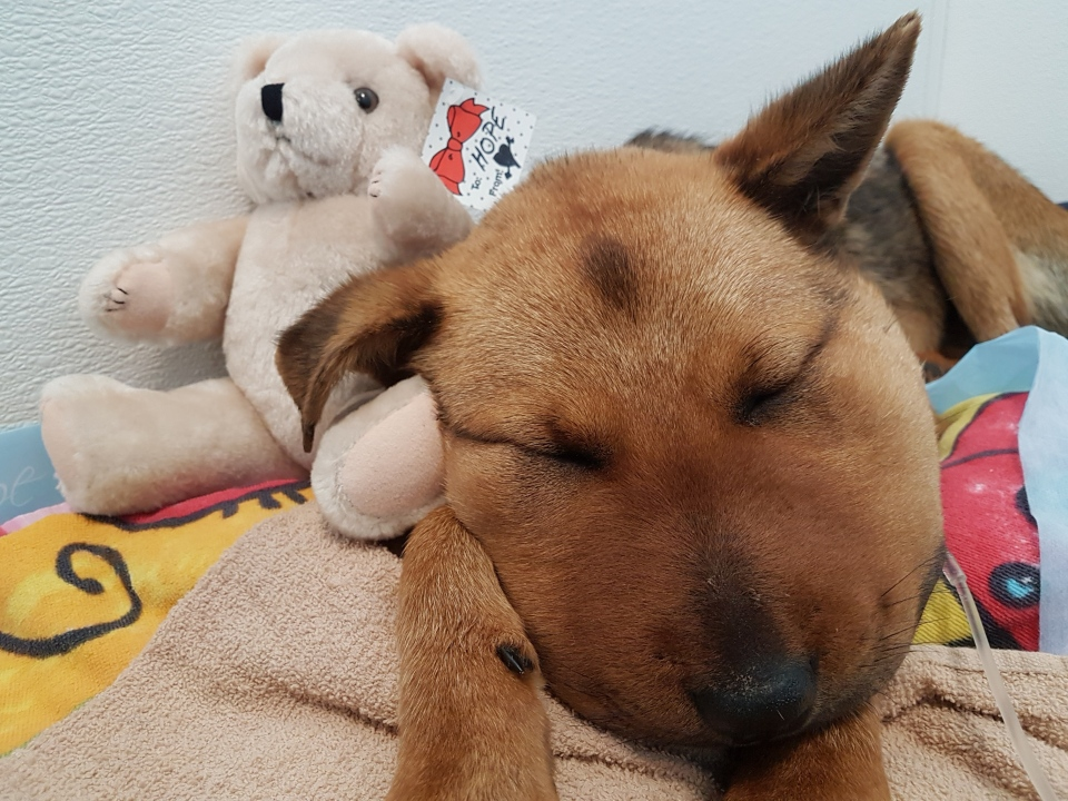 Hope was rushed to a veterinary clinic in Duncan where she was stabilized before being transferred to an emergency clinic in Victoria for around-the-clock treatment. (BC SPCA)