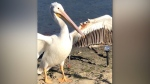 An endangered American white pelican is recovering from a life-threatening fish hook injury at the Wildlife Rescue Association of BC in Burnaby. (CTV)