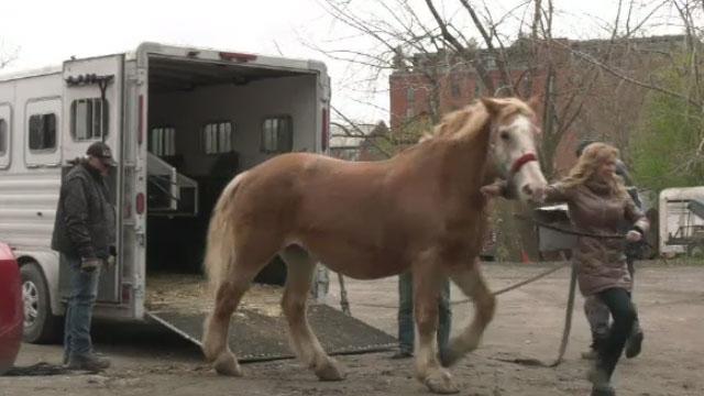 Caleche horse