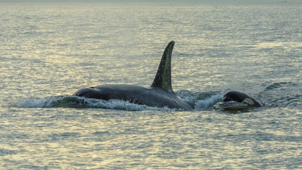 southern resident killer whale