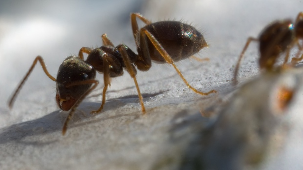 'Cannibal' ants discovered in nuclear bunker