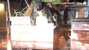 A bear named 'T-shirt' was recently rescued from a dumpster in California. (Placer County Sheriff's Office via Storyful)