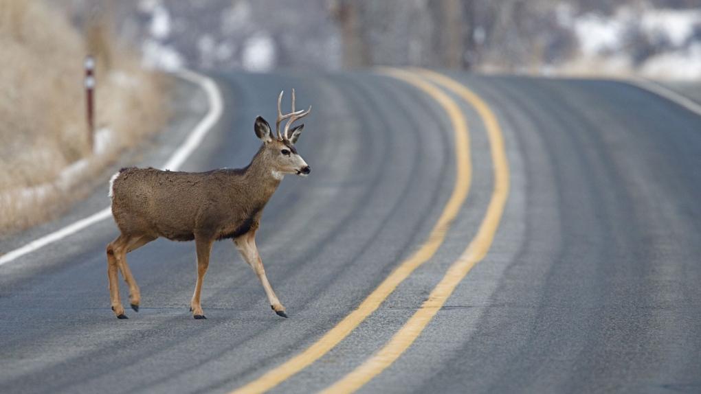 Buck deer highway
