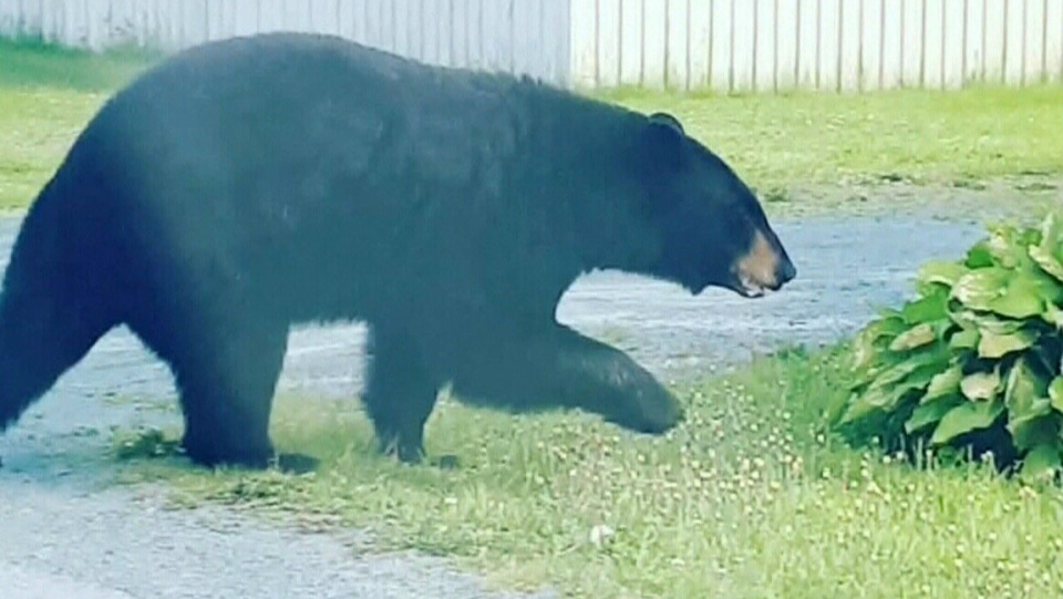 Black bears hunt for food in Halifax