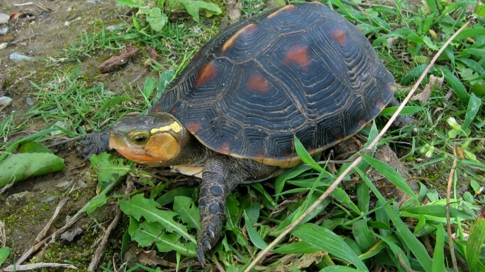 Yellow-margined box turtles were among dozens stolen from an Okinawa Zoo. AFP.