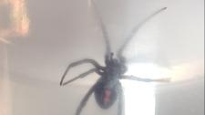 black widow coscto