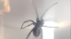 Calvin Bruneau says he found this eight-legged surprise after a trip to Costco.