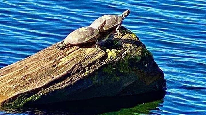 Swastika turtles
