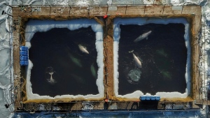 Global outcry followed when pictures were published of the whales struggling to swim through ice-encrusted waters in cramped enclosures. (AFP)