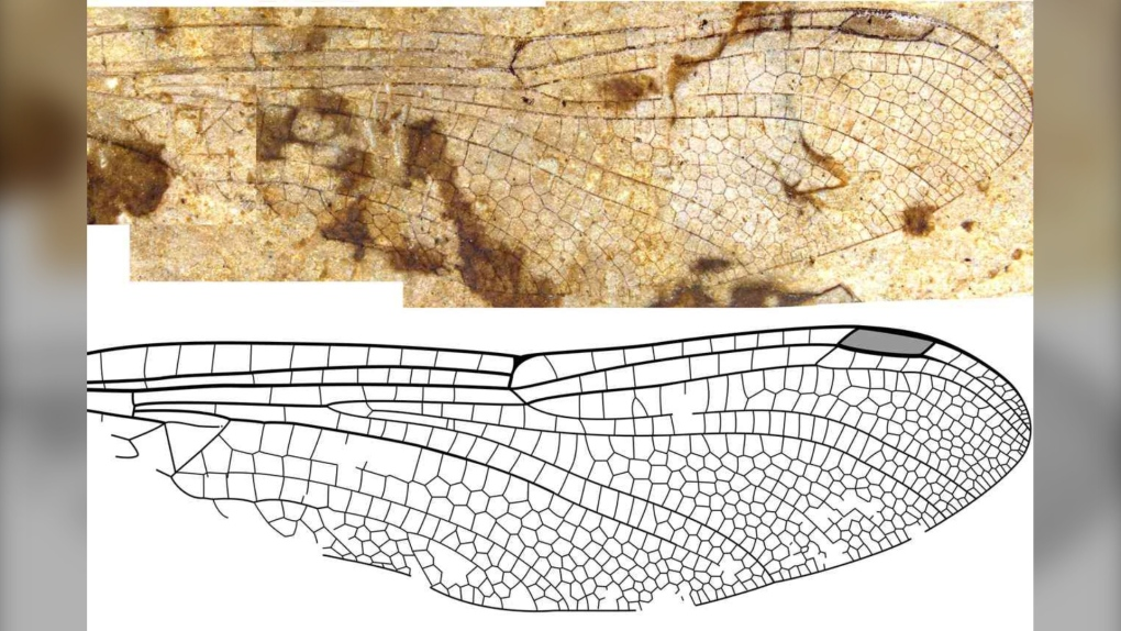 Fossil dragonfly species the first from B.C. to recieve scientific name