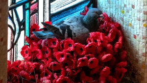 A pigeon in a nest it built from poppies at the Australian War Memorial in Canberra, Australia. (Australian War Memorial)
