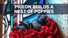 Aussie pigeon pilfers poppies from war memorial fo