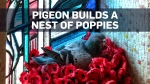 Aussie pigeon pilfers poppies from war memorial fo