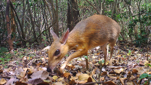 A lost species known as the silver-backed chevrotain, or the Vietnamese 'mouse deer,' has been caught on camera for the first time since 1990 in southern Vietnam. (Southern Institute of Ecology/Global Wildlife Conservation/Leibniz Institute for Zoo and Wildlife Research/NCNP)