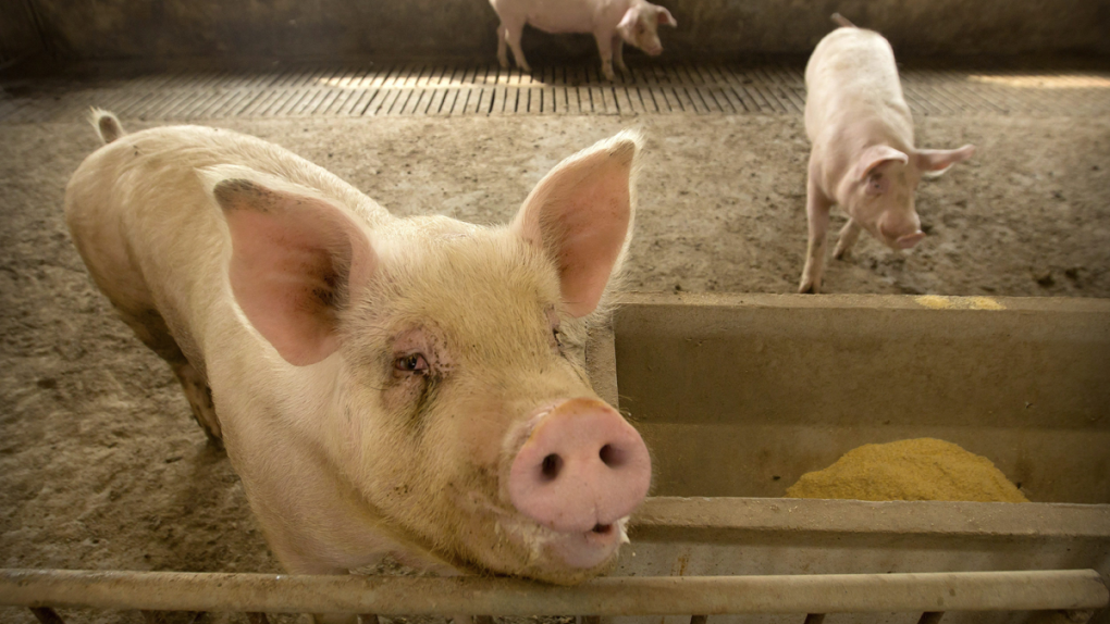 Richmond-based food producer down on indirect fallout of China's swine fever outbreak