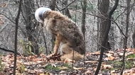 A coyote with a plastic container on its head is seen in Bronte Creek Provincial Park last week. (Jamie Davis)