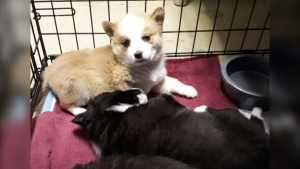 Puppies transferred to North Bay Humane Society (Supplied)