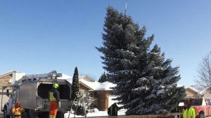 The Snape family has donated their pine tree to Kitchener City Hall for Christmas.
