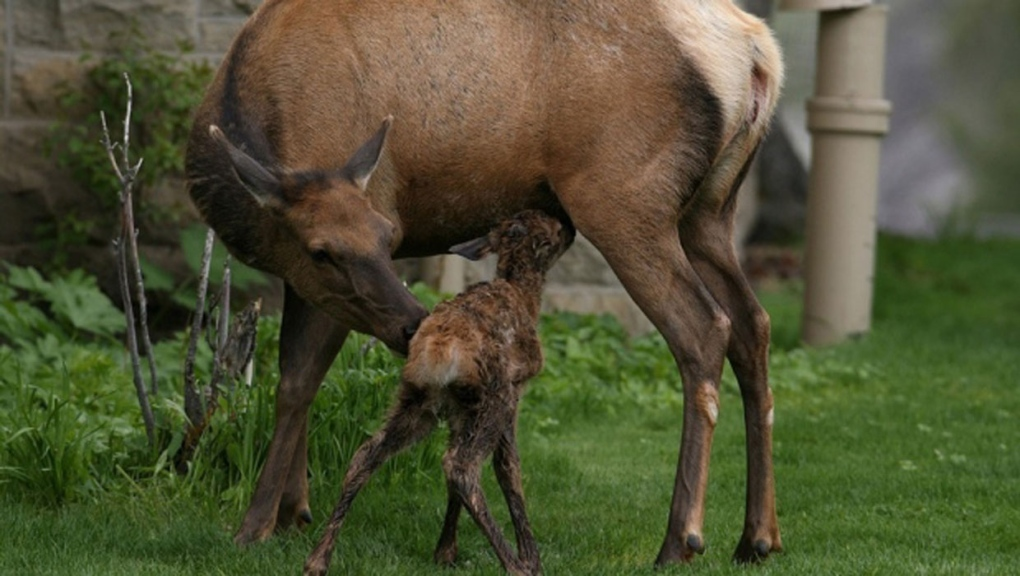 Wildlife officials issue advisory over aggressive cow elks in Banff