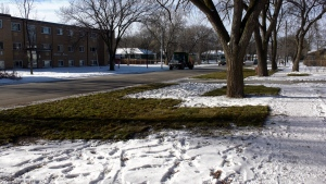 People in Transcona were speaking out about the decision to lay sod in their area at this time of year. (Source: CTV News Winnipeg)