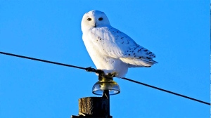 A Snowy Owl in yesterday's sunset just South of Fannystelle. Photo by Gerry Proteau.