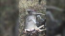 The mule deer was determined to have been shot with a rifle and abandoned in a field on Range Road 55, about 22 kilometres northwest of the northern Alberta community of Hines Creek. (Alberta Fish and Wildlife)