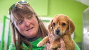 "Mac's Mission animal rescue founder Rochelle Steffen holds a 10-week-old golden retriever puppy with a small tail growing between his eyes, dubbed ""Narwhal,"" Wednesday, Nov. 13, 2019, in Jackson, Mo. (Tyler Graef/The Southeast Missourian via AP)"