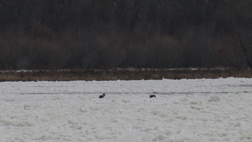 Deer on thin ice