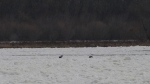 Two deer trapped on thin ice near Selkirk, Man., on Nov. 13, 2019. (Submitted: Horst Welk)