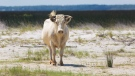 Three cows swept off an island in North Carolina during Hurricane Dorian have been found alive. (Carolina Wild Ones/Facebook)