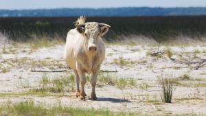 Three cows swept off an island in North Carolina during Hurricane Dorian have been found alive. (Carolina Wild Ones/Facebook)