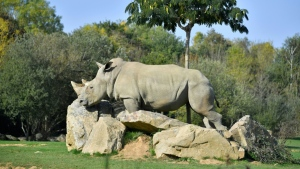 The life expectancy of white rhinos in the wild is about 50 years. AFP