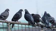 Researchers have discovered that human hair might be the reason why pigeons lose their toes. (Shutterstock)