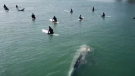 Whale swims under surfers