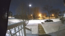 At least four coyotes ran past Bich Nguyen's home in Edmonton's Avonmore neighbourhood this week. (Courtesy Bich Nguyen)