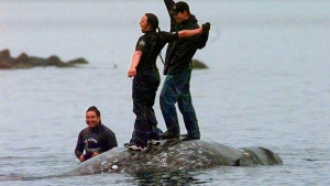 In this May 17, 1999, file photo, two Makah Indian whalers stand atop the carcass of a dead gray whale moments after helping tow it close to shore in the harbor at Neah Bay, Wash. (AP Photo/Elaine Thompson, File)