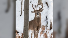 A Michigan photographer picture of three-antlered deer has gone viral, with many praising him for spotting such a rare find in the wild. (Steve Lindberg/Facebook)