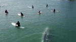 Whale surprises surfers off Calif. coast
