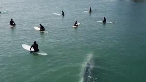 Whale surprises surfers off Calif. coast