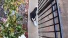 Skunk's head gets stuck in McFlurry cup